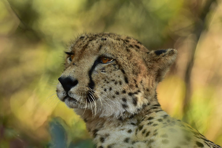 A close up of a cheeta lying in the shade