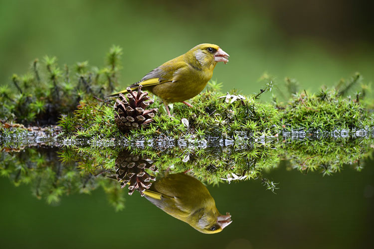 A green bird stands next to a pinecone with its reflection mirrored in the water