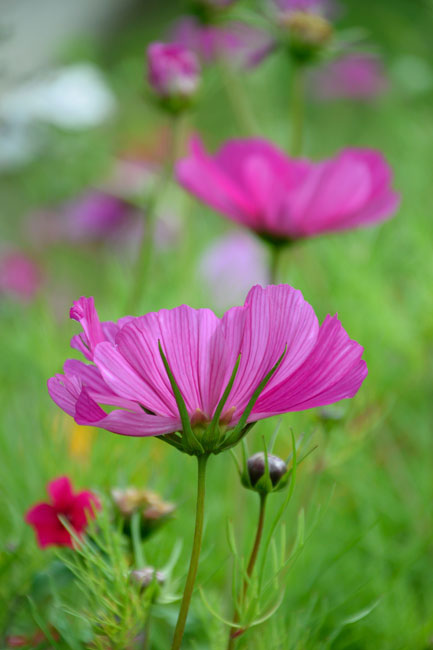 A row of bright pink flowers with the foreground in focus