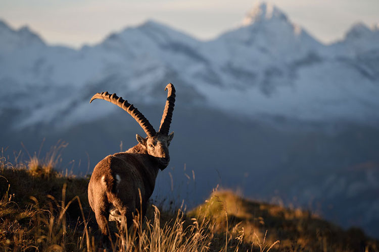 An ibex looks at the camera while standing on a grassy hill with snowy mountains in the background
