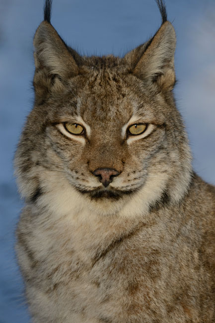 A lynx stares at the camera, centered in the photo