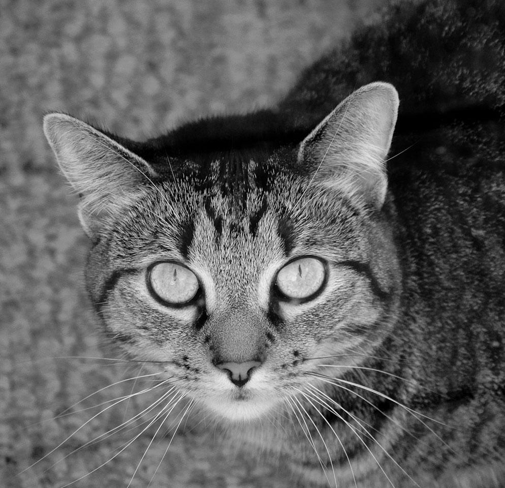 Portrait of cat in black and white by diane berkenfeld