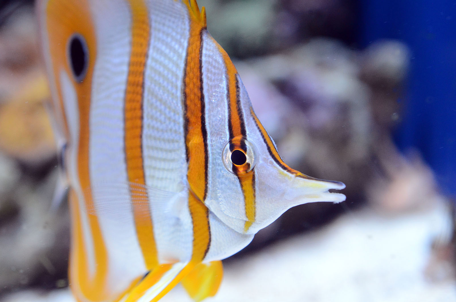 Fish tank glass for sale - Paul Van Allen Photo Of Butterfly Fish Close Up In Aquarium