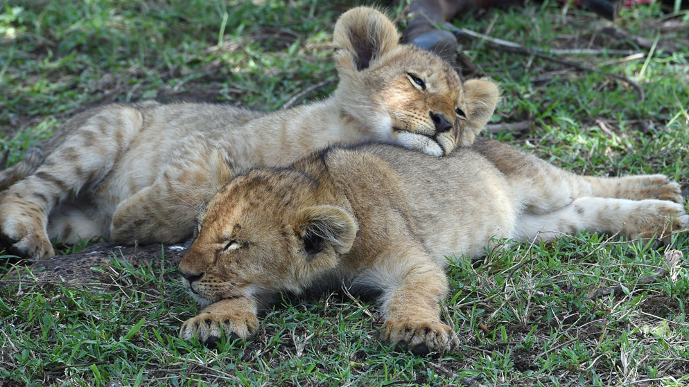 Lion Cubs Sleeping