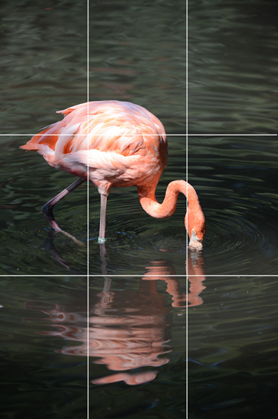 photo of a flamingo with its head in the water, and a grid showing rule of thirds overlay on the photo.