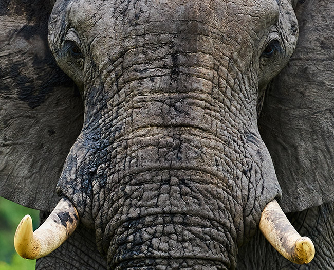 close up of an elephant's head, zoomed in at 75%