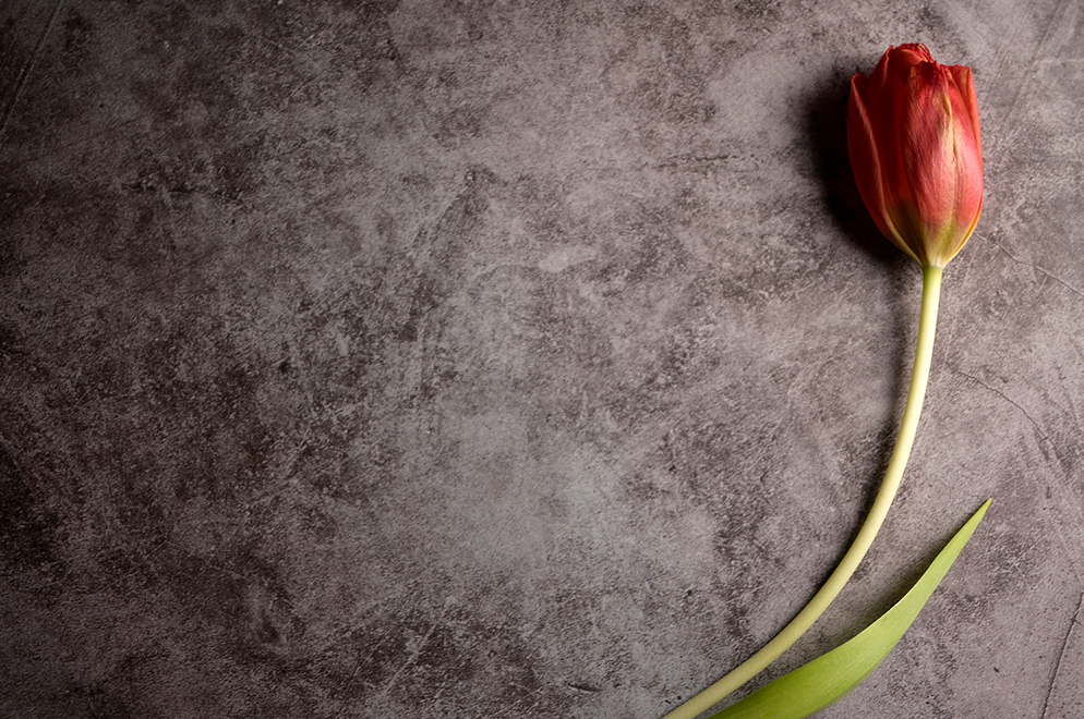 Paul Van Allen photo of a tulip lying on a simple background