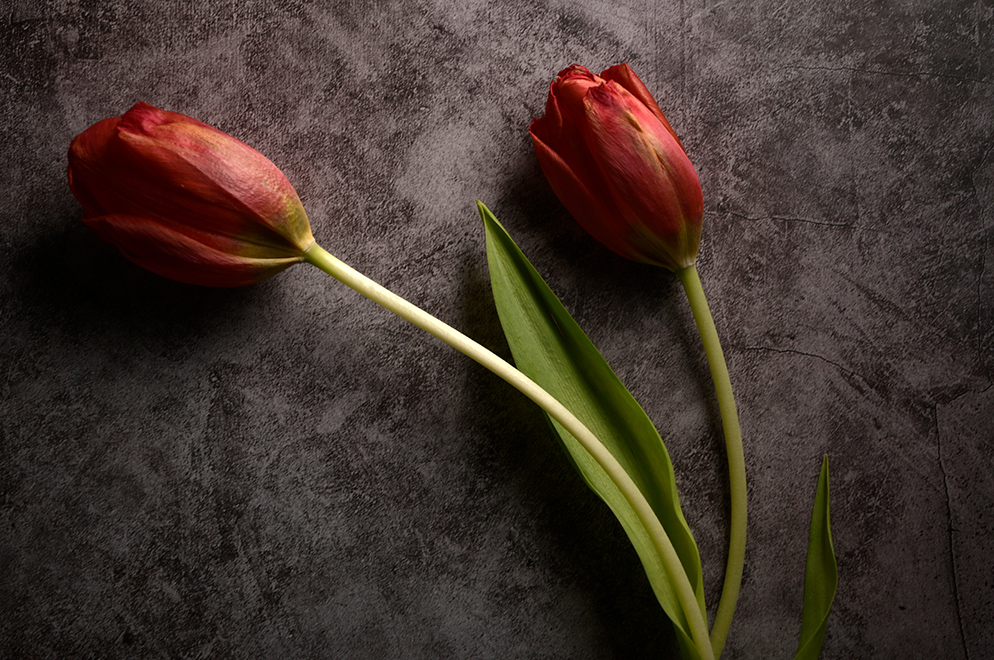 Paul Van Allen photo of two tulips on a simple background